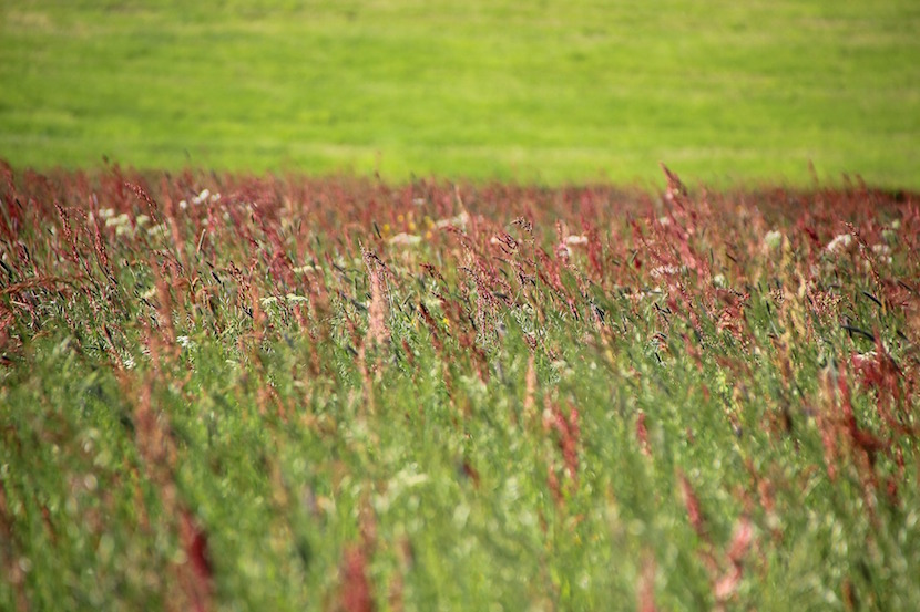 grass field, hay fever
