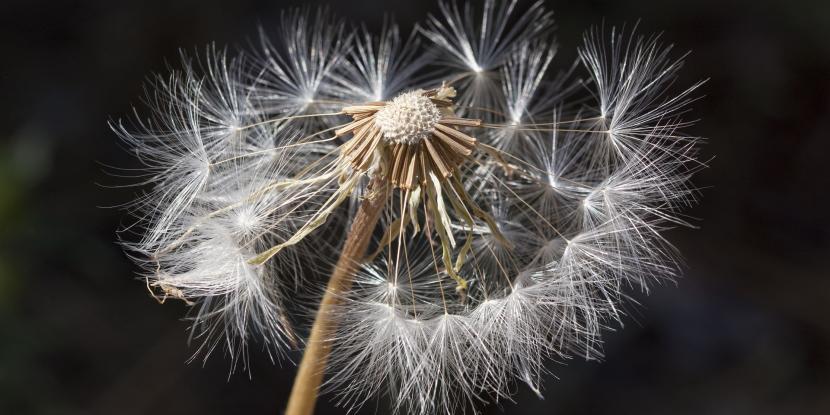 dandelion, allergies