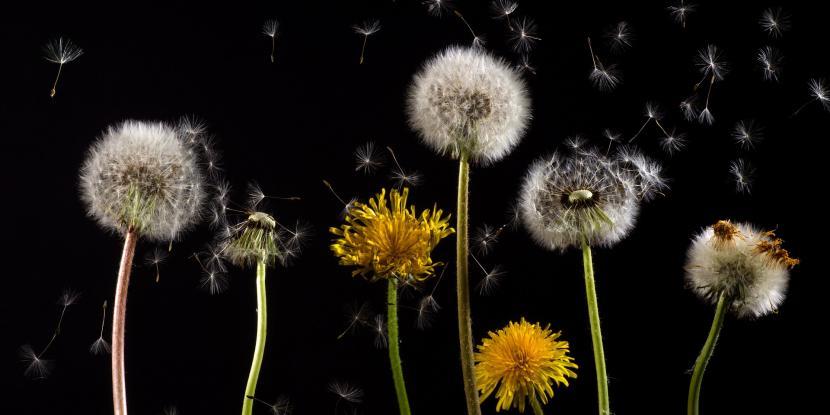 dandelion, allergies, pollen